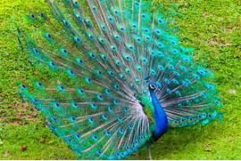 Indian national bird  ...