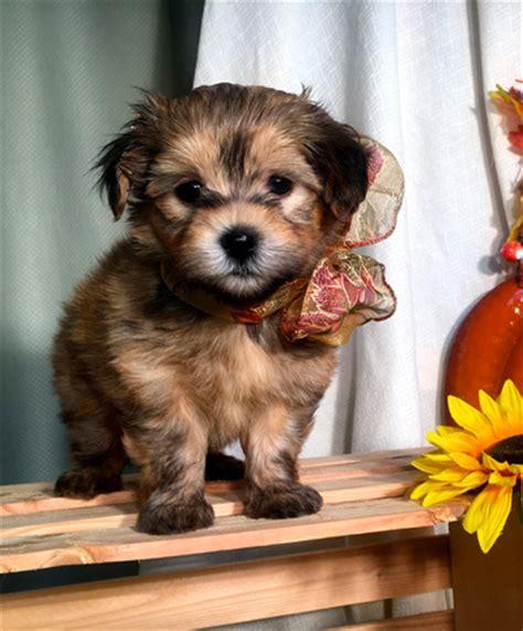 Annie Havanese Puppy For Adoption