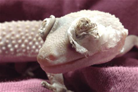 eyelid dysecdysis in leopard geckos gecko time gecko time