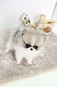 Cute Tiny Teacup Pomeranian Puppies Text Me 313 908 5587 ...