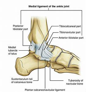 Easy Notes On  U3010ankle Joint  Talocrural Joint  U3011learn In Just 4 Minutes   U2013 Earth U0026 39 S Lab
