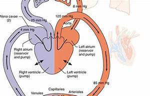Human Circulatory System Diagram For Kids