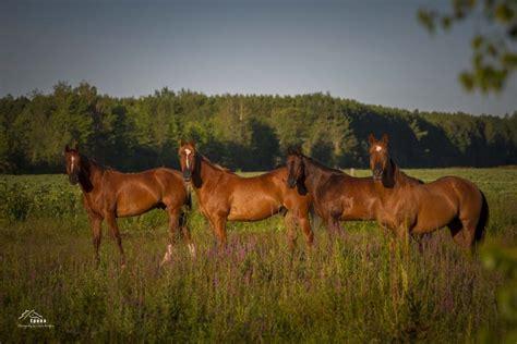 quarter association horse canadian affiliate national american