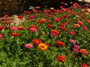 preserving flowers zinnia garden by mickeyd gardentenders
