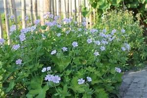 Acheter Des Plantes : geranium 39 chantilly 39 plantes vivaces acheter des plantes en ligne ~ Melissatoandfro.com Idées de Décoration
