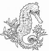 Coloring Seahorse Pages Realistic Adult Seahorses sketch template