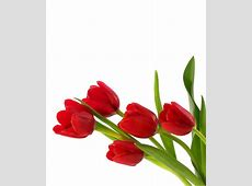 MproTech Mix Colour Tulip Flower Seed Buy MproTech Mix
