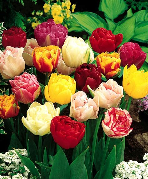 the peony flowering tulip bulb mixture
