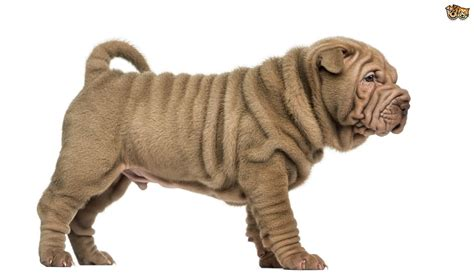 Shar Pei Dog Breed Information Buying Advice P Os And Facts Petshomes