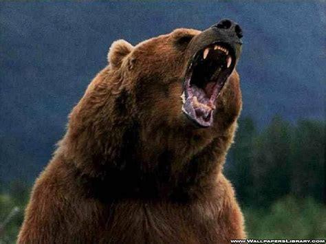 grizzly bears animals wallpaper  fanpop