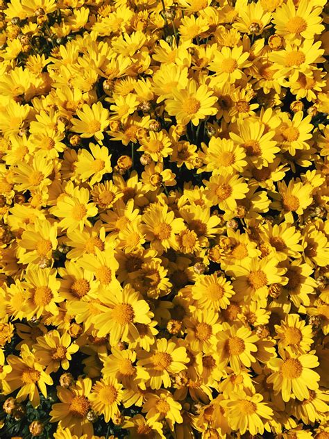 yellow aesthetic flowers wallpapers
