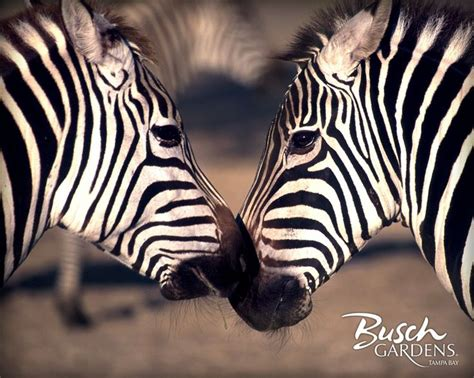 17 Best ideas about Zebra Wallpaper on Pinterest