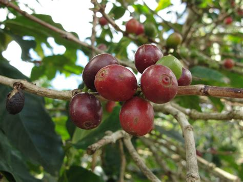 Out of the grey tops the costa rican coffee bean chart twice, and their second costa rican varietal is truly one of a kind. Off the Cuff: Costa Rican Coffee