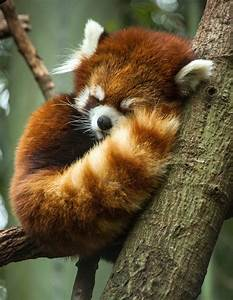 Red Panda ©Amiee Stubbs Photography | Animals | Pinterest