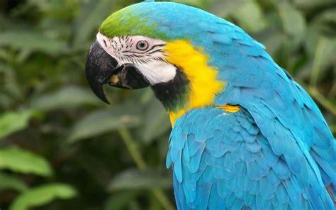 macaw bird macaw parrot wallpapers wallpaper cave
