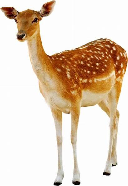 Deer Dear Transparent Animals Pluspng Pngimg