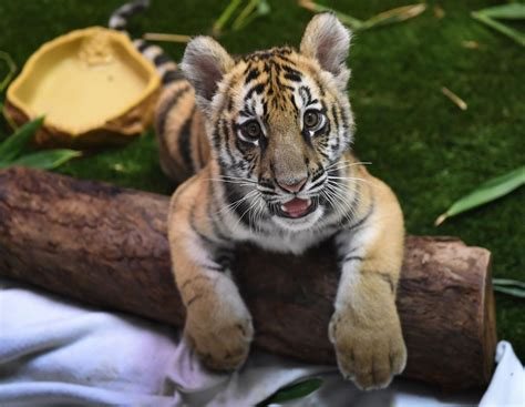 California Teenager Who Smuggled Tiger Cub From Mexico
