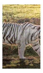 White Tiger HD Wallpaper | Background Image | 2048x1155 ...