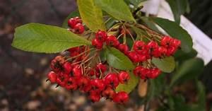 Arbustes Décoratifs à Fleurs : arbustes fruits d coratifs d couvrir ~ Premium-room.com Idées de Décoration