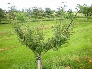 Quand Planter Un Pommier : prunier mirabelle de nancy en taille en vert de formation ~ Dallasstarsshop.com Idées de Décoration