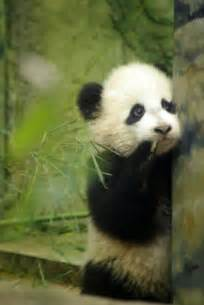 Washington DC Zoo Panda Baby