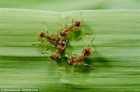 Fire Ant Venom Could Treat Psoriasis