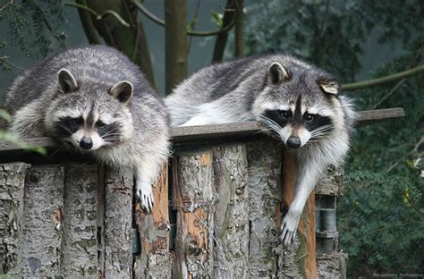 funny raccoon  photodoto