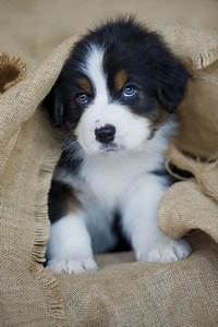 blue eyes, mountain dogs and bernese mountain dogs ...