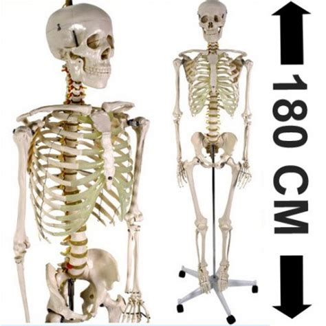 balance de cuisine acheter squelette humain 180cm achat squelette du corps