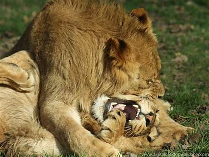 Lions Lion Fighting Don Touch Human Animals