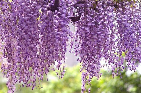 purple flower vine plants wisteria floribunda royal purple japanese wisteria