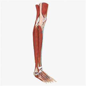 Lower Leg Anatomy