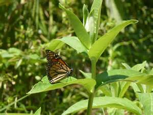Monarch Butterflies and Milkweed Plants