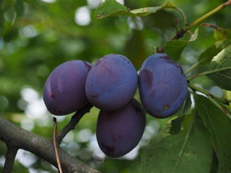 plum and purple free images branch leaf flower food spring produce blue flora plum violet fruits