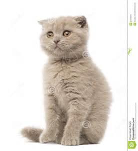 Scottish Fold Kittens Sitting