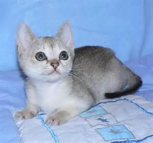 singapura cat singapura cat breed info history personality kittens