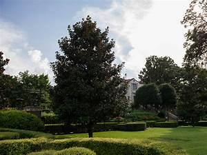 Dd Blanchard Magnolia Dallas Texas Treeland Nursery