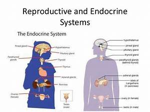 Reproductive And Endocrine Systems