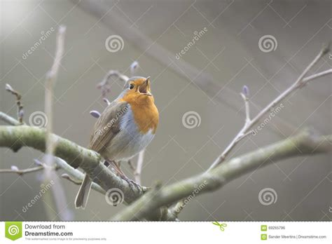 bird mating stock photo image of wildlife early branch