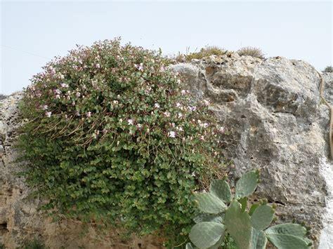 of bush caper bush www pixshark com images galleries with a bite