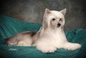 Chinese Crested Hairless and Powderpuff Dog Breed ...