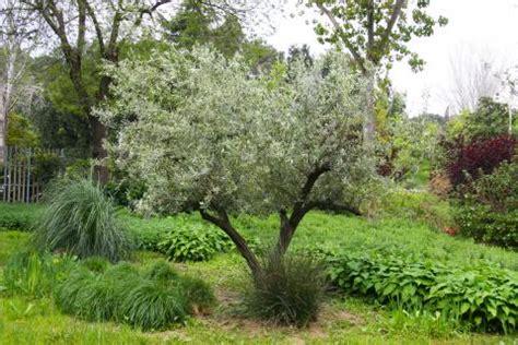 Olivenbäume Winterschutz Und überwintern  Mein Schöner
