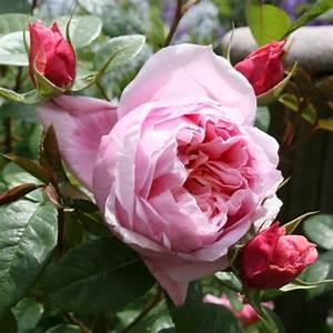 Schöne Bilder Kaufen : rose sch ne maid online kaufen rosen tantau ~ Orissabook.com Haus und Dekorationen