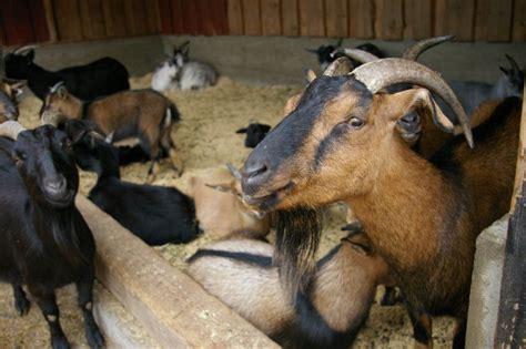 goats  stock photo  group  sheep  goats