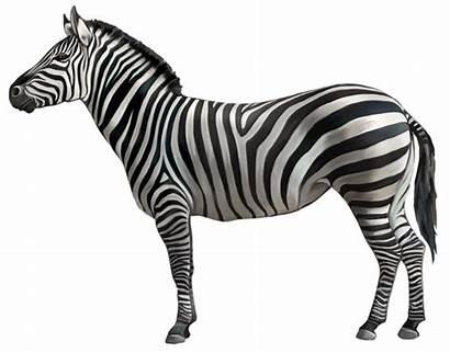 Zebra Clipart Animals Transparent Yopriceville