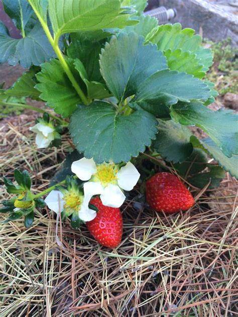 ideas for strawberries tips for growing strawberry plants the links site