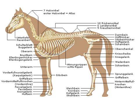 pferde skelett der knochenbau von pferden