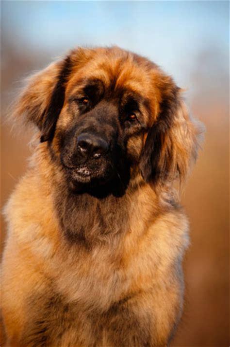 leonberger hunde