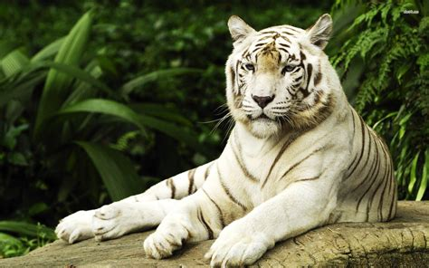 White Tiger Desktop Wallpapers Wallpaper Cave