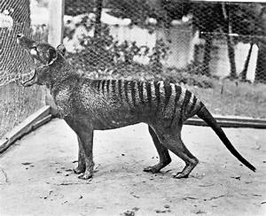 The Thylacine Mystery - Wildlife Articles